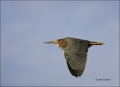 Green-Heron;Heron;Flight;Butorides-virescens;flying-bird;one-animal;close-up;col
