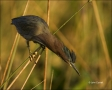 Florida;Green-Heron;Heron;Southeast-USA;Butorides-virescens;one-animal;close-up;