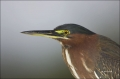 Florida;Southeast-USA;Green-Heron;Heron;Butorides-virescens;portrait;one-animal;