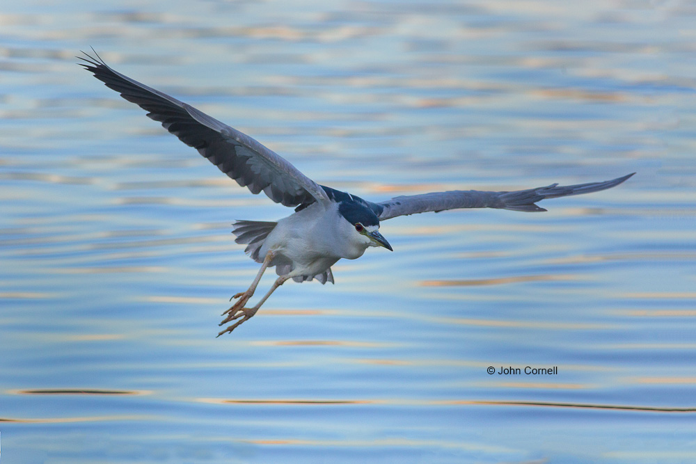 Black-crowned Night Heron;Flying Bird;Heron;Nycticorax nycticorax;Photography;action;active;aloft;behavior;birds;color image;flight;fly;flying;in flight;motion;movement;one animal;soar;soaring;water;wing;winged;wings