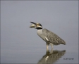 Yellow-crowned-Night-Heron;Heron;Florida;Southeast-USA;Nyctanassa-violacea;feedi