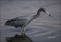 Florida;Little-Blue-Heron;Heron;Southeast-USA;Egretta-caerulea;one-animal;close-