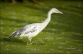 Little-Blue-Heron;Heron;Florida;Southeast-USA;White-Phase;Egretta-caerulea;one-a