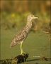 Black-crowned-Night-Heron;Heron;Juvenile;Nycticorax-nycticorax;one-animal;close-