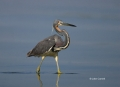 Animals-in-the-Wild;Egretta-tricolor;Florida;Heron;One;Photography;Tricolored-He