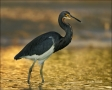 Tricolored-Heron;Heron;Sunset;one-animal;close-up;color-image;nobody;photography