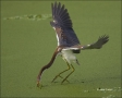 Florida;Southeast-USA;Heron;Flight;Tricolored-Heron;Egretta-tricolor;flying-bird