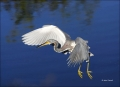 Florida;Southeast-USA;Tricolored-Heron;Egretta-tricolor;flying-bird;one-animal;c