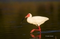 White-Ibis;Ibis;Eudocimus-albus;One;one-animal;avifauna;bird;birds;feather;feath