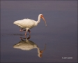 Florida;White-Ibis;Ibis;Southeast-USA;Eudocimus-albus;one-animal;close-up;color-
