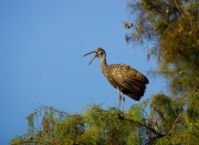 Aramus-guarauna;Florida;Limpkin;One;Southeast-USA;avifauna;bird;close-up;color;c