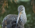 Florida;Everglades;Limpkin;Preening;Southeast-USA;one-animal;close-up;color-imag