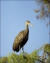 Florida;Everglades;Limpkin;Southeast-USA;one-animal;close-up;color-image;nobody;