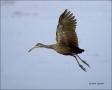 Florida;Southeast-USA;Limpkin;Flight;flying-bird;one-animal;close-up;color-image