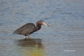 Egretta-caerulea;Heron;Little-Blue-Heron;Foraging;One;avifauna;bird;birds;feathe