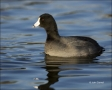 California;Southwest-USA;American-Coot;Coot;Fulica-americana;one-animal;close-up