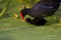 Common-Moorhen;Chick;Moorhen;Gallinula-chloropus;One;two-animals;avifauna;bird;b