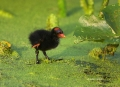 Common-Moorhen;Chick;Moorhen;Gallinula-chloropus;One;one-animal;avifauna;bird;bi