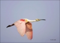 Roseate-Spoonbill;Spoonbill;Breeding-Plumage;Flight;flying-bird;one-animal;close