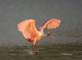 Roseate-Spoonbill;Flight;Florida;Southeast-USA;Ajaia-ajaja;flight;One;avifauna;b