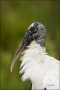 Wood-Stork;Stork;Mycteria-americana;portrait;one-animal;close-up;color-image;nob