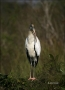 Wood-Stork;Stork;one-animal;close-up;color-image;nobody;photography;day;outdoors