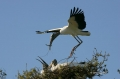 Wood-Stork;Nesting;Flight;Florida;Breeding-Plumage;Stork;Mycteria-americana;One;