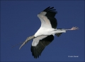 Wood-Stork;Stork;Flight;flying-bird;one-animal;close-up;color-image;nobody;photo