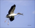 Wood-Stork;Stork;Florida;Flight;Mycteria-americana;Flying-bird;action;aloft;beha