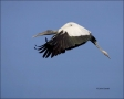 Wood-Stork;Florida;Southeast-USA;Flight;Stork;Mycteria-americana;Flying-bird;act