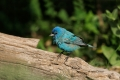 Bunting;Indigo-Bunting;One;Southwest-USA;Texas;avifauna;bird;birds;color-image;c