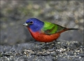 Florida;Painted-Bunting;Bunting;Breeding-Plumage;Passerina-ciris;one-animal;clos