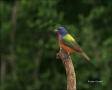 Painted-Bunting;Bunting;Male;Passerina-ciris;one-animal;close-up;color-image;nob
