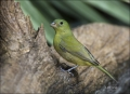 Florida;Southeast-USA;Painted-Bunting;Bunting;Female;Passerina-ciris;one-animal;
