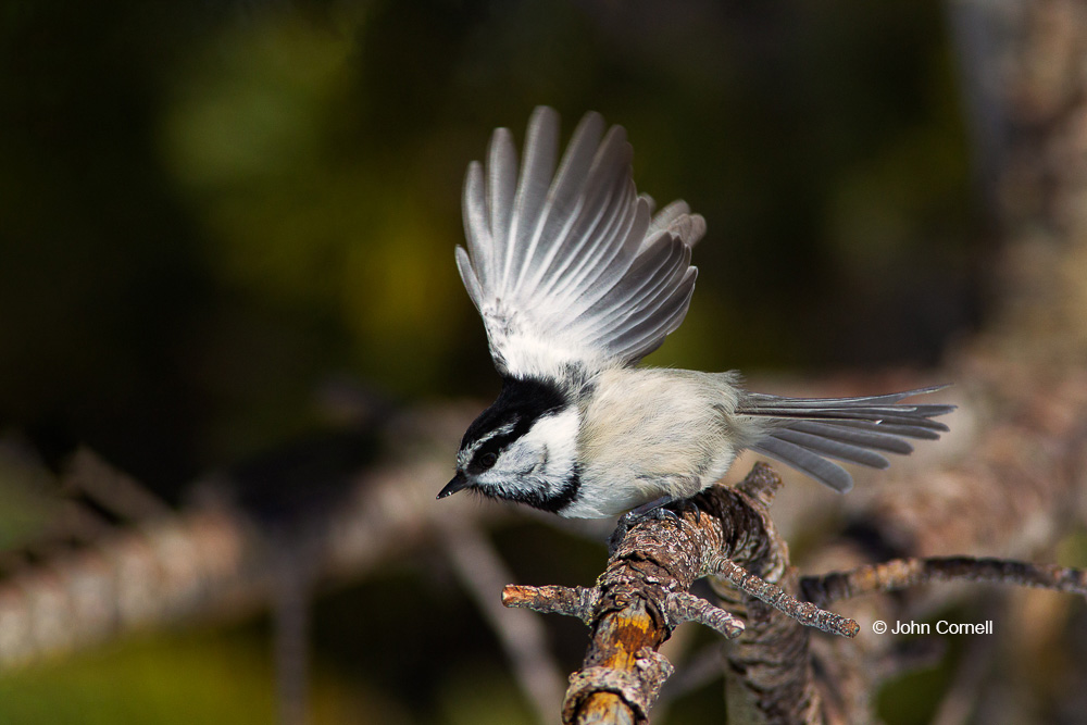 Mountain Chickadee;One;Poecile gambeli;avifauna;bird;birds;color image;color photograph;feather;feathered;feathers;natural;nature;outdoor;outdoors;wild;wilderness;wildlife