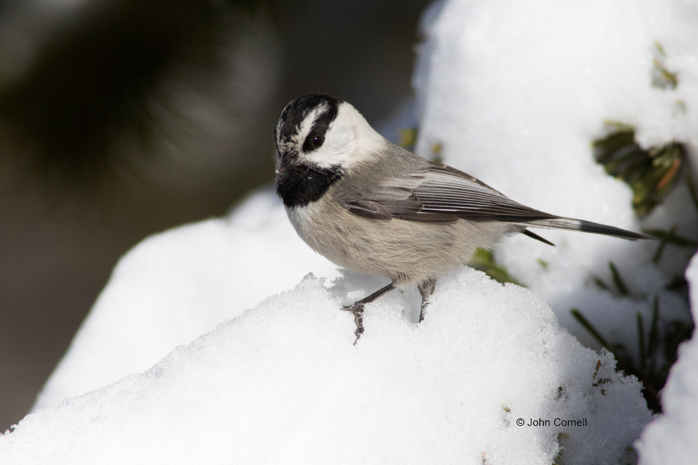 Mountain Chickadee;Poecile gambeli