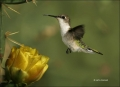Ruby_throated-Hummingbird;Hummingbird;Archilochus-colubris;flying-bird;one-anim