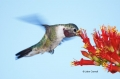 Broad_tailed-Hummingbird;Hummingbird;Selasphorus-platycercus;Flying-bird;action;