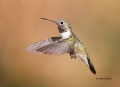 Broad-tailed-Hummingbird;Hummingbird;Selasphorus-platycercusi;Flying-bird;action
