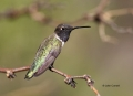 Black_chinned-Hummingbird;Hummingbird;Archilochus-alexandri;One;one-animal;avifa