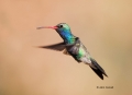 Broad_billed-Hummingbird;Hummingbird;Cynanthus-latirostris;Flying-bird;action;al