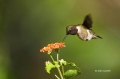 Hummingbird;Archilochus-colubris;Ruby_throated-Hummingbird;Flying-bird;action;a
