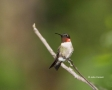 Hummingbird;Archilochus-colubris;Ruby_throated-Hummingbird;One;one-animal;avifa