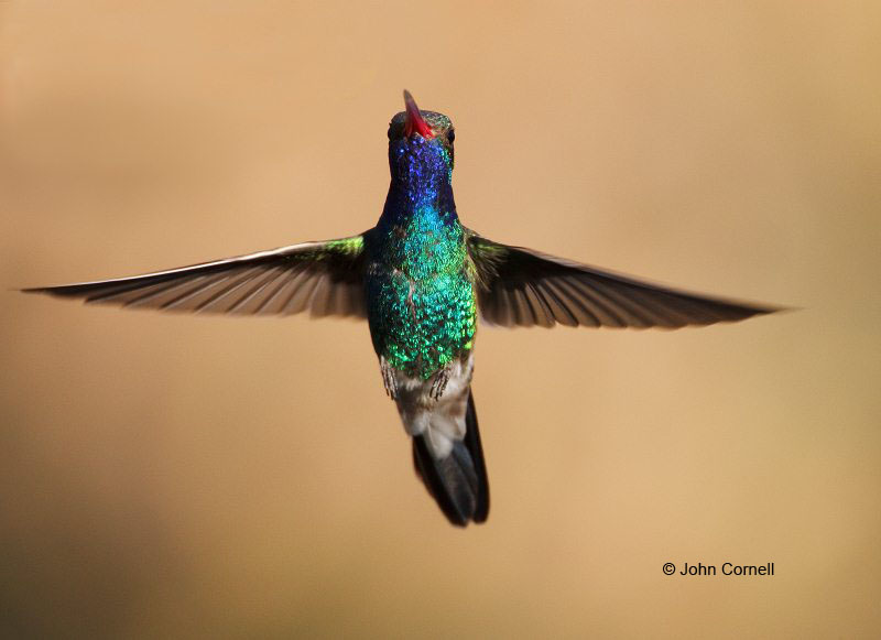 Broad-billed Hummingbird;Hummingbird;Cynanthus latirostris;Flying bird;action;aloft;behavior;flight;fly;flying;soar;wing;winged;wings;one animal;Color Image;Photography;Birds;Animals in the Wild;Flight;Action;Active;in flight;motion;movement;soaring;One;avifauna;bird;birds;feather;feathered;outdoors;outside;untamed;wild;color;color photograph;daytime;close up;color image;photography;animals in the wild;feathers;wilderness;watching;watchful