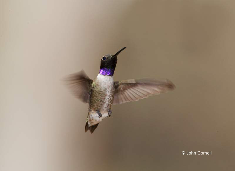 Black-chinned Hummingbird;Hummingbird;Archilochus alexandri;Flying bird;action;aloft;behavior;flight;fly;flying;soar;wing;winged;wings;one animal;Color Image;Photography;Birds;Animals in the Wild;Flight;Action;Active;in flight;motion;movement;soaring