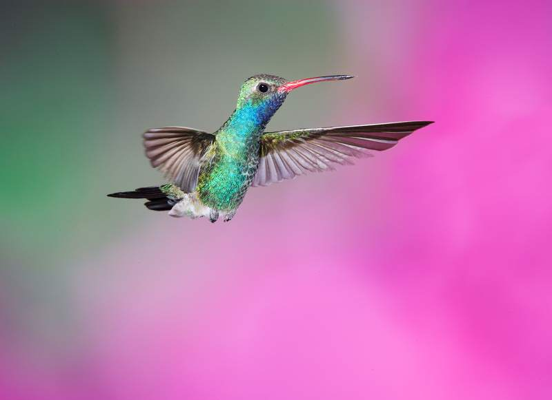 Broad-billed Hummingbird;Hummingbird;Cynanthus latirostris;Flying bird;action;aloft;behavior;flight;fly;flying;soar;wing;winged;wings;one animal;Color Image;Photography;Birds;Animals in the Wild;Flight;Action;Active;in flight;motion;movement;soaring