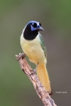 Cyanocorax-yncas;Green-Jay;Jay;One;avifauna;bird;birds;color-image;color-photogr