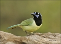 Green-Jay;Jay;Southwest-USA;Texas;Cyanocorax-yncas;one-animal;close-up;color-ima