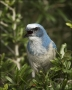 Florida-Scrub-Jay;Jay;Scrub-Jay;Aphelocoma-coerulescens;Endangered-species;one-a