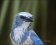 Florida-Scrub-Jay;Jay;Scrub-Jay;Aphelocoma-coerulescens;Endangered-species;close
